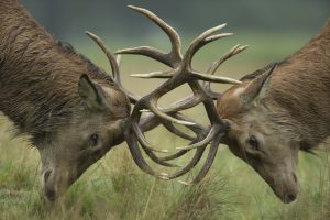 Red deer stags fighting