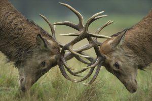 Red deer stags fighting